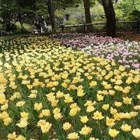 横浜公園のチューリップ未だ咲いていました