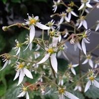季節の花「雪の下(ゆきのした)」