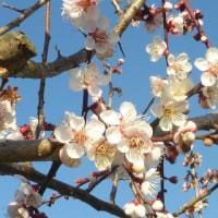 梅と菜の花-和泉リサイクル環境公園 2017.3.18.