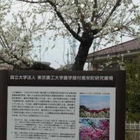 花が咲く前にモモの木を切った? 東京農工大の意図は?? ワカラナイ!