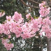 桜・・・続編。