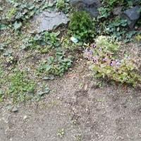 チコさん庭に咲いた花