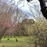 寒い日が続く神代植物公園に春近し その3