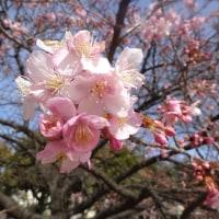 この静かな午前に・・・・昼~市之坪公園の河津桜。