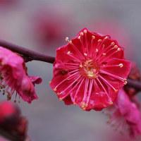 23日の散歩 ( 宥清寺、平野神社、北野天満宮から早春便り歩 )