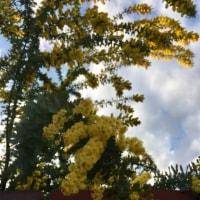 春を呼ぶミモザの花