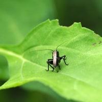 ヒメギス(幼虫)