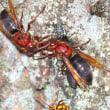 チャイロスズメバチの栄養交換