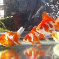 メダカや金魚の育密度について