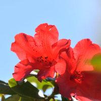 逆光で撮った赤いシャクナゲ