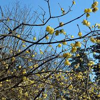 梅は咲いたか 桜はまだかいな
