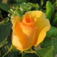 椿の花をムシャムシャ食べる!?