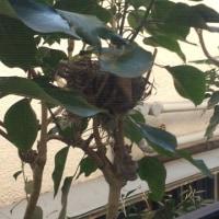 小鳥が巣作りを始めました