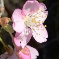 ここでも桜♪