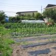 夏野菜の王様 ズッキーニ (自由気まま菜園)