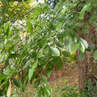 長野の木:アキニレ