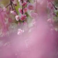 ミツマタと梅の花