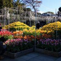 江の島サムエル・コッキング苑 二万本のチューリップ