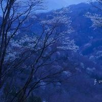 安曇野の桜