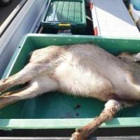 12月15日有害鳥獣捕獲「鹿」