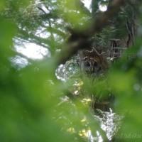「フクロウ」の母 雛を見守る