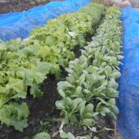 野菜の収穫です。