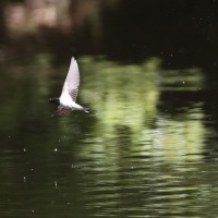 カワセミ ツバメ(在庫画像)