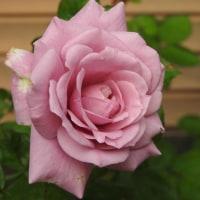 きょうの薔薇1021