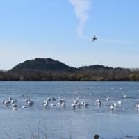 鳥海山と白鳥