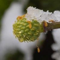 福寿草の種~昨日と今日