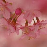 安行桜 (花 4302)