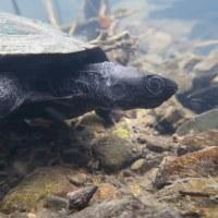黒化クサガメ