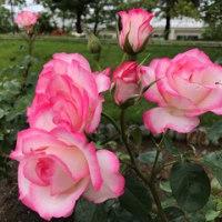 高岡おとぎの森公園の 薔薇