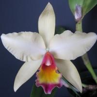 香りの良いクリーム色の花