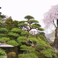 諏訪市 貞松院と法光寺の枝垂れ桜 2017