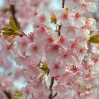 桜美林幼稚園 河津桜
