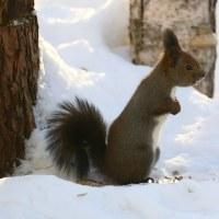 冬毛エゾリス