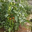 屋根より高いトマト