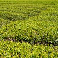富士山が見える棚田・茶畑を巡る(静岡県・小山町の「一色の茶畑」)