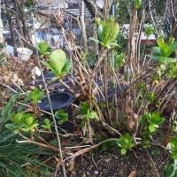 土を割って、チューリップの芽が出てきました。