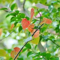 色づくハート:マルバノキ