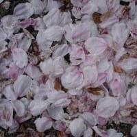 散り落ちた桜と言えど