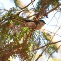 小鳥の混群の中に、エナガも数羽混じっていた。
