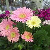金宝樹のご注文、薔薇5本、楓、ハートのペチュニア、テルスター、クロサンドラなど明日販売!