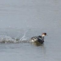 池では、ミコアイサのメスが泳いでいた。