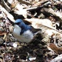 今週の鳥-20170520