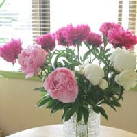 シャクヤクの花を頂きました