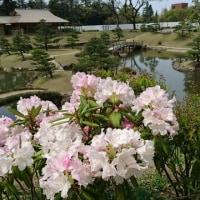 玉泉院丸庭園石楠花