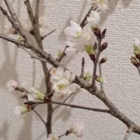桜  花咲く