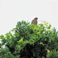 今日の野鳥     ホシゴイ・ゴイサギ・サシバ